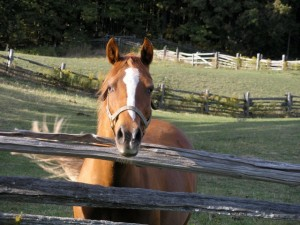 Sharon Coate's horse Cinnamon